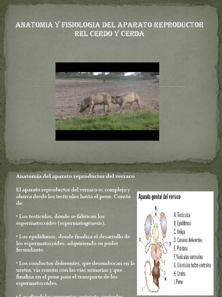 Vistoso Anatomía Humana Y La Versión Feto De Cerdo Manual De ...