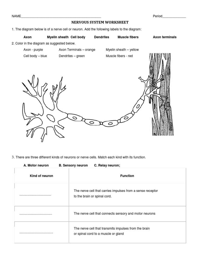 Printables Nervous System Worksheet nervous system worksheet neuron system