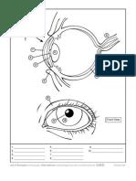 AAB Eye Anatomy Coloring Worksheet