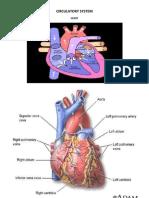 Circulatory System 1