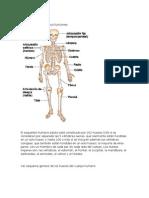 Huesos Principales y Sus Funciones