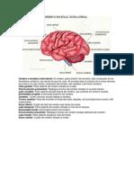Cerebro o Encefalo