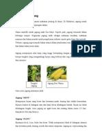 Info Jagung