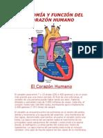 ANATOMÍA Y FUNCIÓN DEL CORAZÓN HUMANO