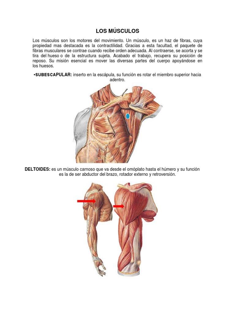 Hermosa La Función Del Músculo Deltoides Colección - Imágenes de ...