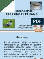 Identificación de parásitos en palomas