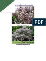 Arborele Printesei-Paulownia Tomentosa