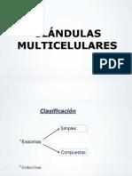 glandulas multicelulares
