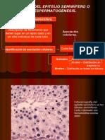 Ciclo del epitelio seminífero humano