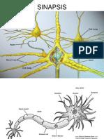(13) Sinapsis y Neurotransmisores