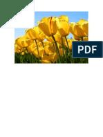 El Origen de Los Tulipanes