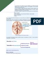 La sustancia gris no sólo se acumula en la corteza.docx