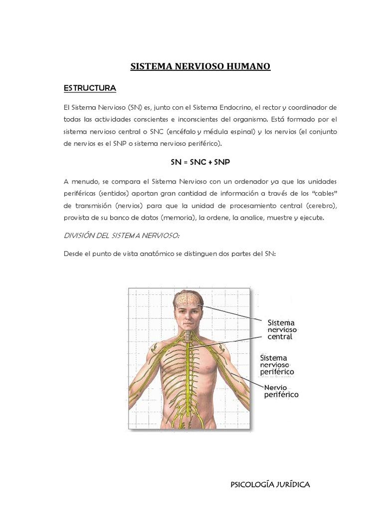 Sistema Nervioso Humano 2 Pdf