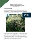 Tabaquillo (Solanum mauritanum)