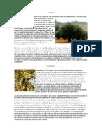 El olivo1