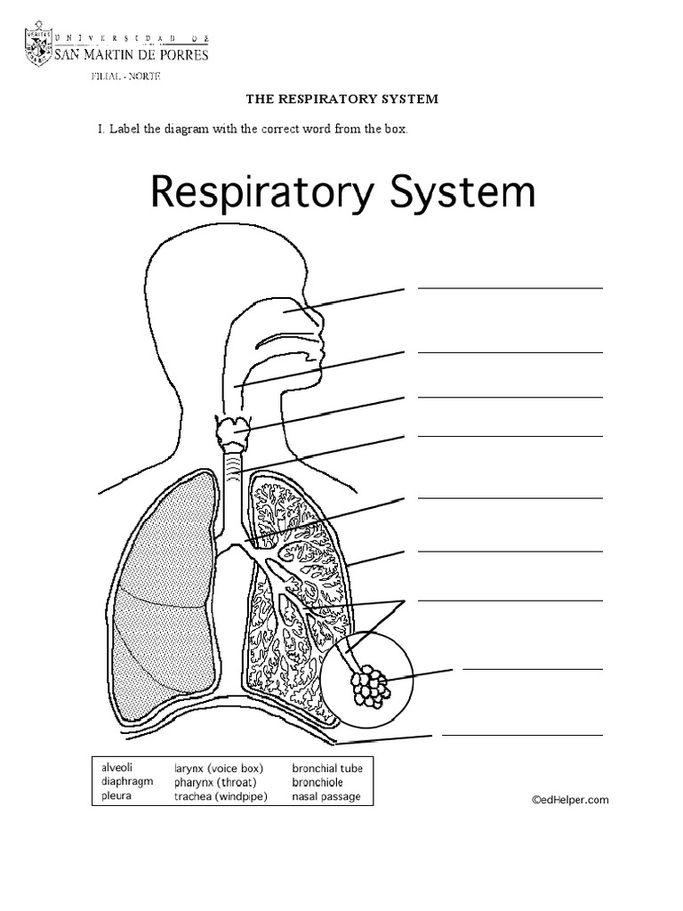 The Respiratory System Worksheet