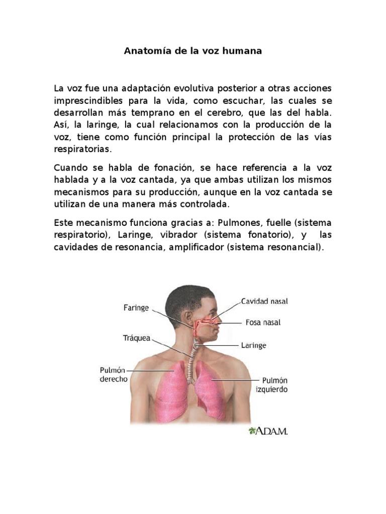 Anatomía de la voz humana