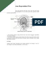 Anatomi Sistem Reproduksi Pria