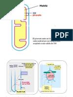 4._PDH-CICLO_DE_KREBS_2012-2013_CV
