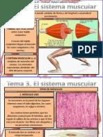 Tema 3 Sistema Muscular
