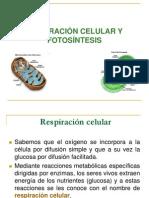 respiracion celular y fotosíntesis13