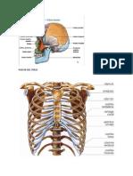 Trabajo de Anatomina