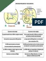 Transcripcion(Procariotas vs Eucariotas)