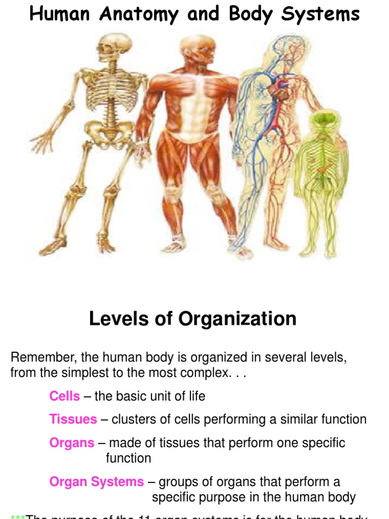 Human Body Systems Human Body Lung