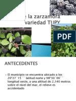 Cultivo de La Zarzamora