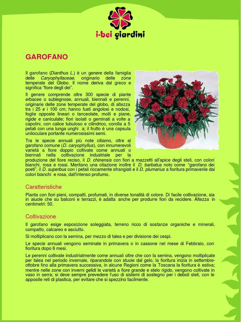 Coltivare Fiori Da Recidere garofanochabaud