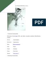 Morfologi Dan Klasifikasi Tanaman Padi