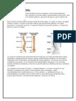 Vertebra Dorsal Anatomia