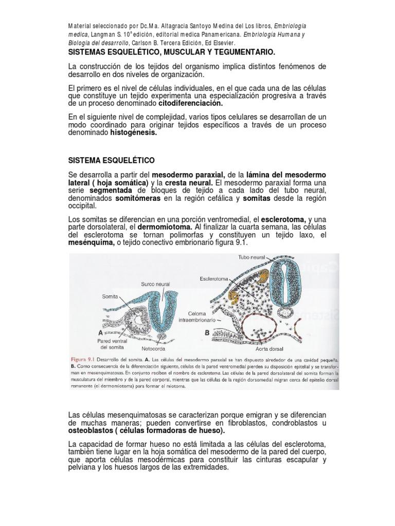 Famoso AnatomÃa De Una Hoja De Cálculo De Los Huesos Largos Galería ...