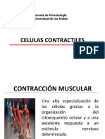 Celulas Contractiles Kin-1