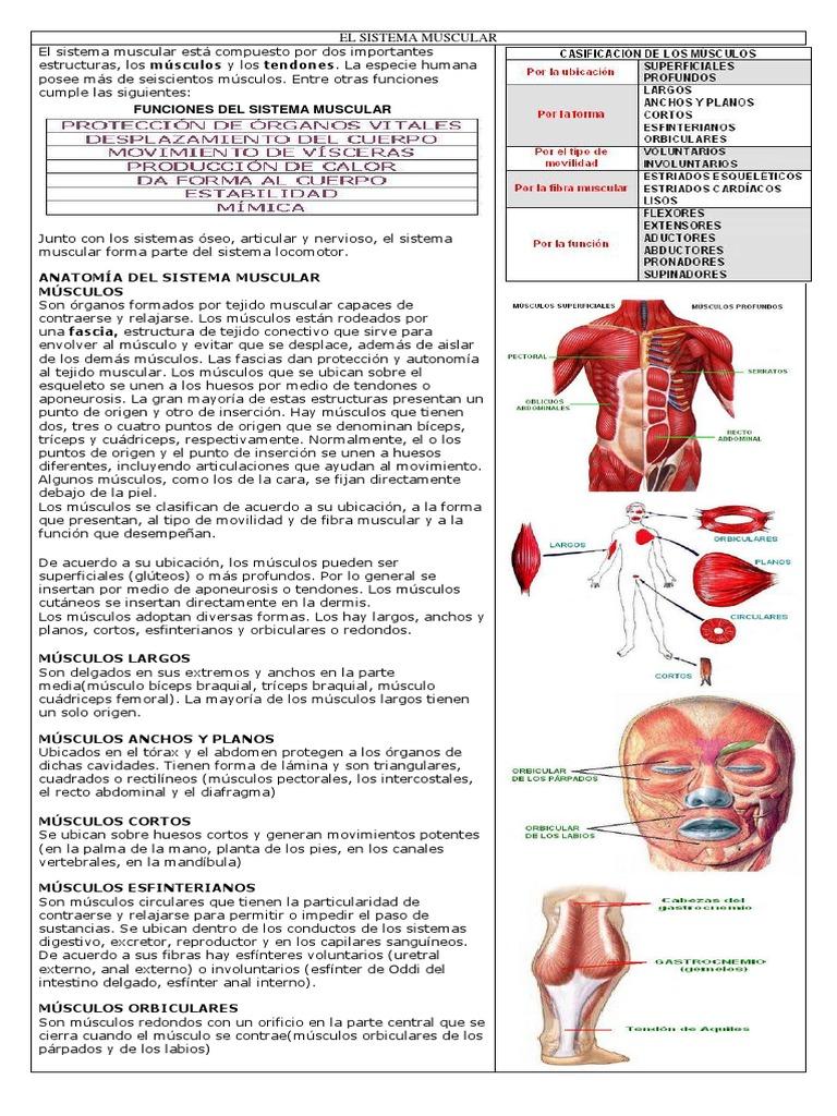 Taller Sistema Muscular