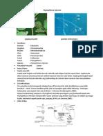 Phytophthora infestan