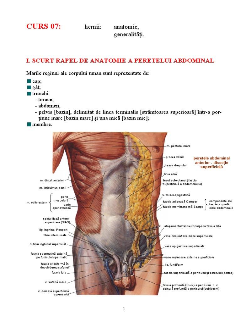 componentele penisului)