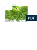 Vigne Hydroponique