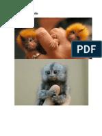 Macaco de Dedo