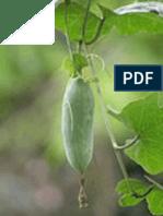 TIMUN MUNGIL (Coccinia grandis)