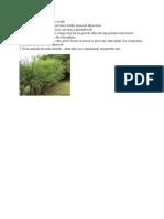 Eucaliptus.docx