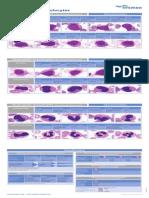 Classification of Neutrophilic Granulocytes