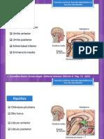 función hipotalámica hipofisiaria