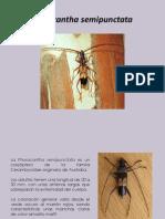 Phorocantha Semipunctata Plaga de Eucalipto