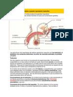 Sistema o Aparato Reproductor Masculino