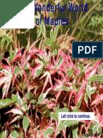 Japanese Maples Amoenum Group
