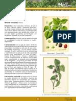 La Morera Planta Medicinal Para La Diabetes