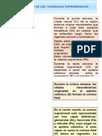 DESARROLLO DE LAS  GLÁNDULAS SUPRARRENAL