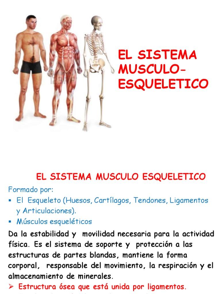 el sistema musculo-esqueletico 2