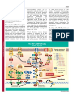 The NF-kB Pathway